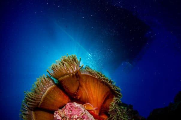 Koraller i blår skær