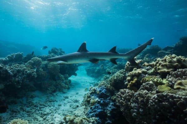 Haj svømmer rundt i koralrev