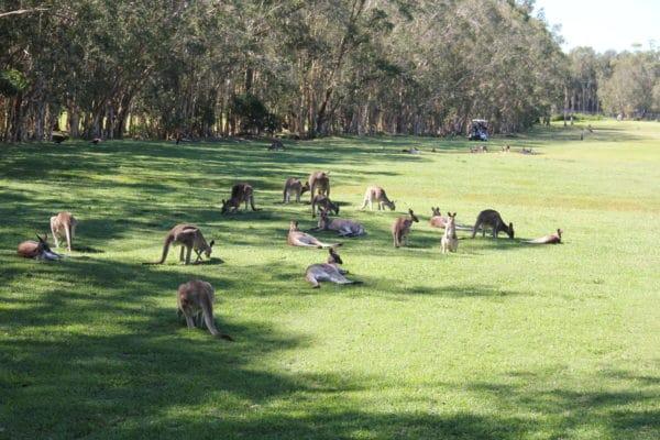 Kænguruer på græsmark