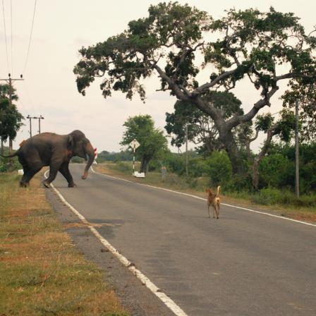 Elefant går over landevej